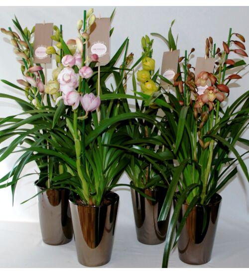 Cymbidium Orchidea Kaspóban