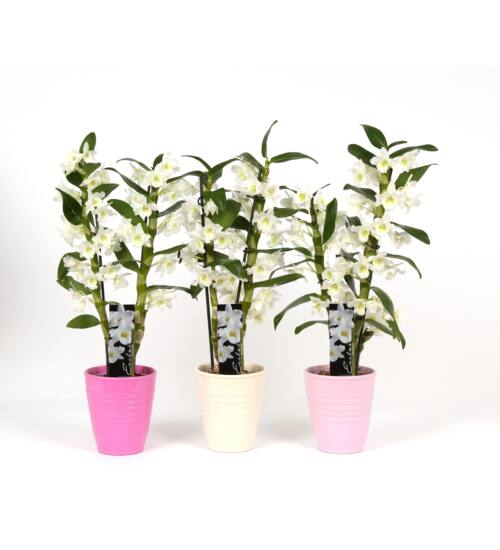 Dendrobium Orchidea Kaspóban