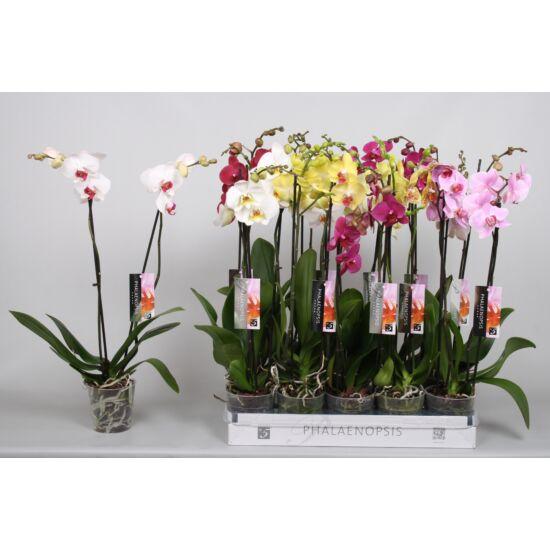 Phalaenopsis Orchidea 10 cserép