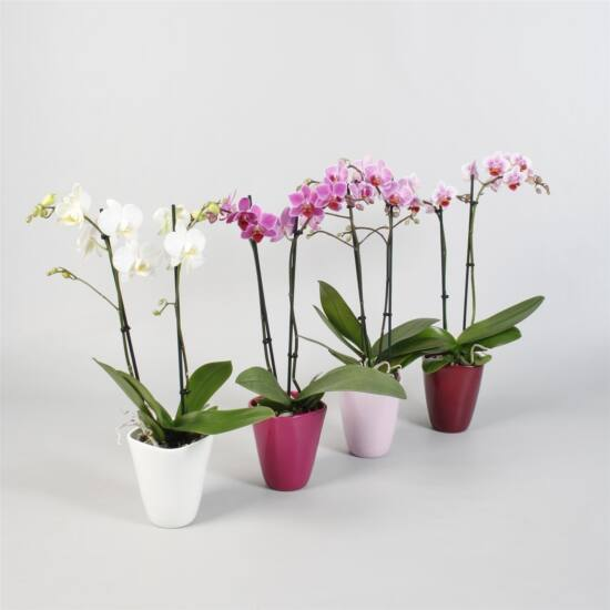 Orchidea Kaspóban