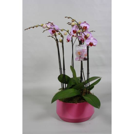 Orchidea Dekoráció  00165